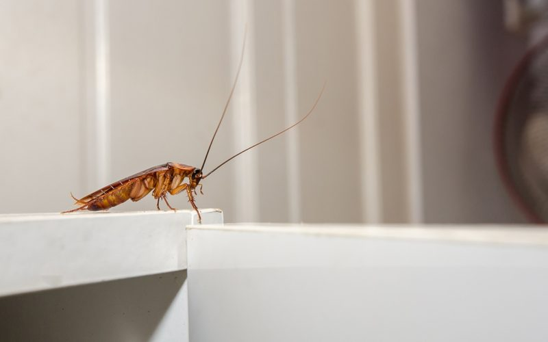 Close up a cockroach on white cupboard in the kitchen
